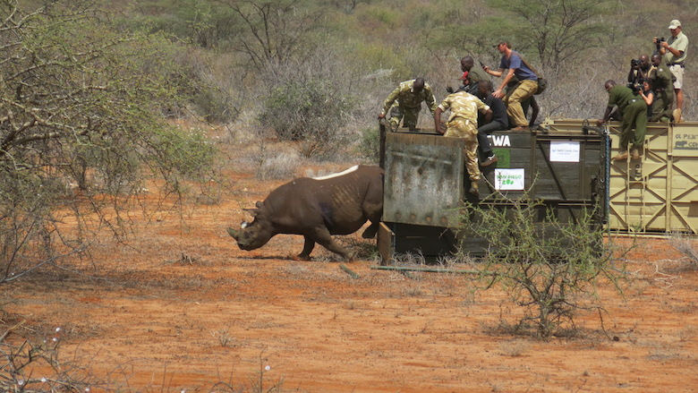 A black rhino is successfully released into his new home inside Sera. Photo courtesy of Lewa Wildlife Conservancy.