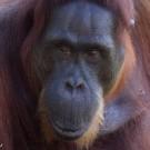 Borneo orangutan. Orangutan habitat is being destroyed for oil palm plantations in Indonesian Borneo.