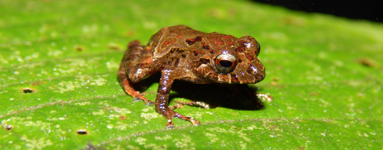 Pristimantis sp - potential new species of Rain Frog_768px