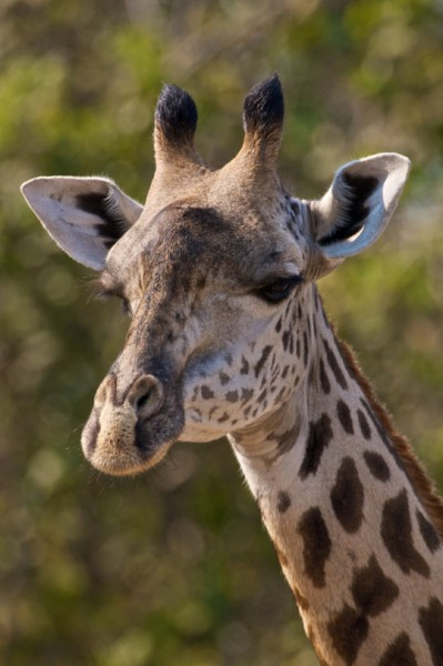 Giraffe. Photo by Fred B. Bercovitch.