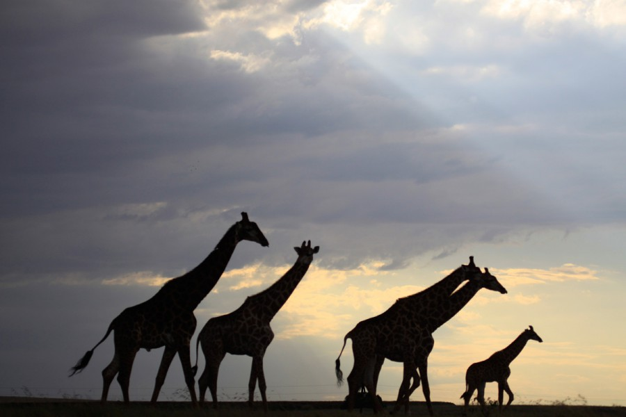 Giraffes at sunset. Photo by Francois Deacon.