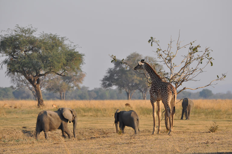 Giraffe and elephants. Photo by Fred B. Bercovitch.