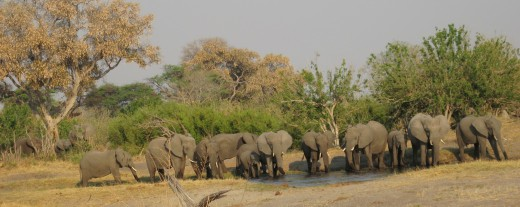 Elephants at water hole, Chobe, Botswana
