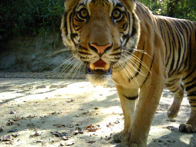 Scientists estimate there are around 10 adult tigers in Parsa Wildlife Reserve. Photo courtesy of ZSL.