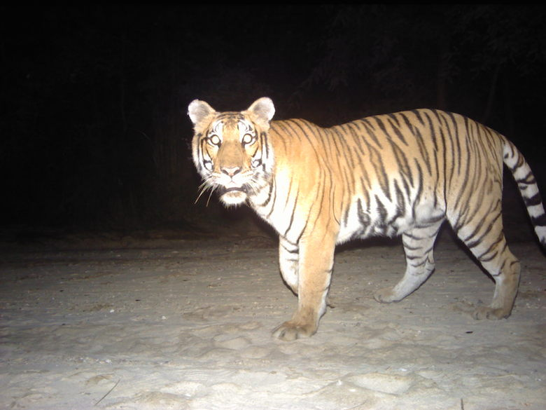 A Bengal tiger camera-trapped in Parsa Wildlife Refuge. Photo courtesy of ZSL.