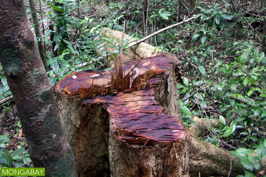 Illegal logging in Madagascar's Masoala Peninsula, a protected area where rosewood is commonly targeted