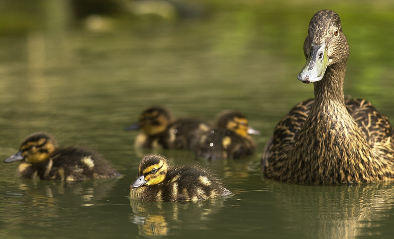 A female Meller's duck with four ducklings. Meller's ducks are endemic to Madagascar. Photo by James Morgan.