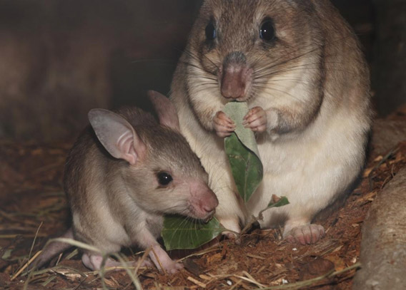 A female Malagasy giant jumping rat with a youngster. Photo courtesy of the Zoological Society of London.