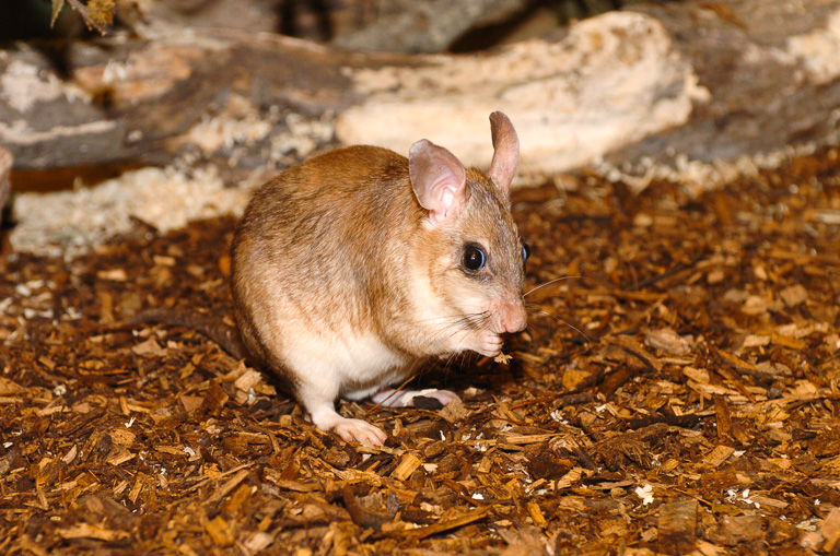 A Malagasy giant jumping rat. The species is found at a single site in Madagascar. Photo courtesy of Durrell Wildlife Conservation Trust.
