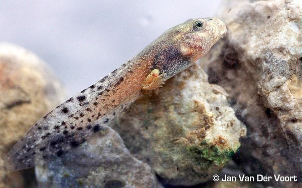 A Mallorcan midwife toad tadpole with developing hind legs. Photo by Jan Van Der Voort.