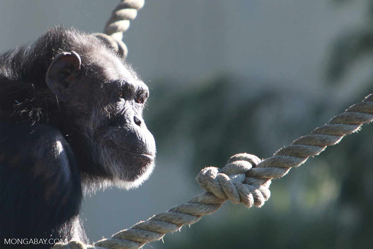 A captive chimpanzee. Photo by Rhett Butler.