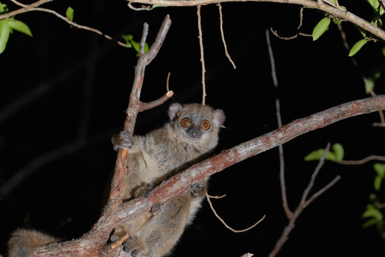 The critically endangered northern sportive lemur (Lepilemur septentrionalis). Photo by Edward Louis.