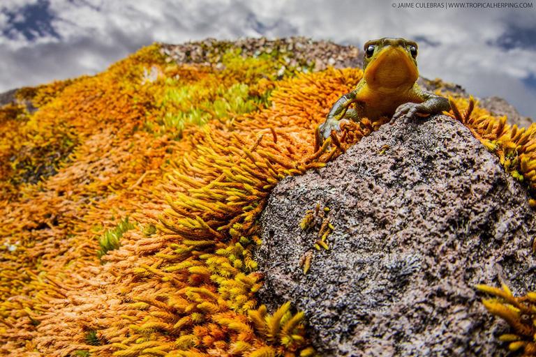 Female Azuay Stubfoot-Toad (Atelopus bomolochos) photographed in-situ. Photo by Jamie Culebras.