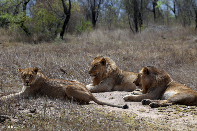 African lions in Kruger South Africa. Photo by Rhett Butler.