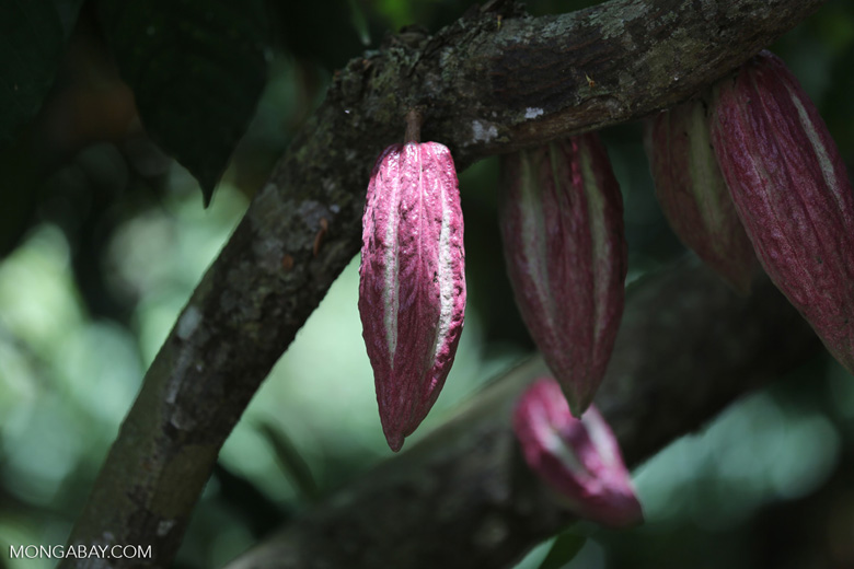 Cacao pods in Nosy Komba, Madagascar. Photo by Rhett Butler.