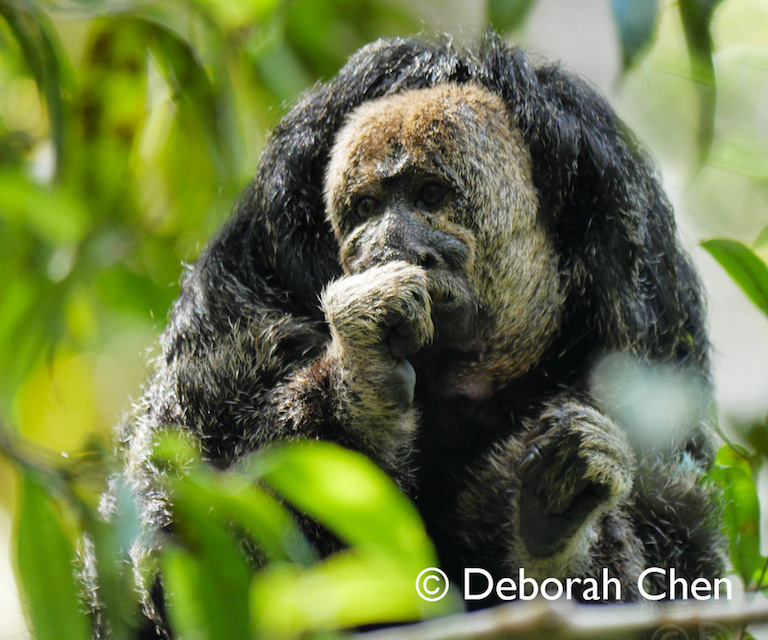 A Monk Saki (Pithecia milleri), one of numerous species of wildlife living on the Tapiche Reserve. Photo by Deborah Chen.