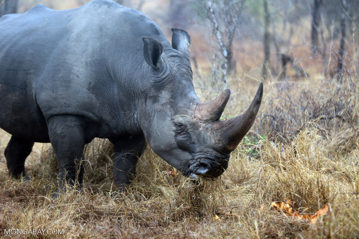 A southern white rhinoceros in South Africa. The country is the last remaining stronghold of rhinoceroses, but is facing an unprecedented poaching crisis. Photo by Rhett Butler.