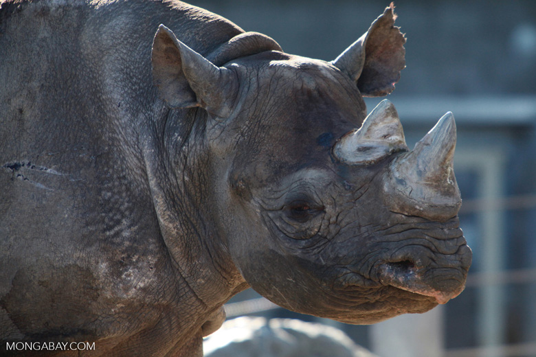 A female black rhinoceros. About 5,000 members of the species remain. Photo by Rhett Butler.