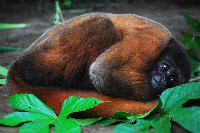 """Nina, a woolly monkey (lagothrix logotricha), was confiscated during a raid on a hotel by Ecuador's MEA and, according to Frank Weijand, unleashed a """"Braveheart like cry of freedom"""" when she was released from her tight harness. Image courtesy of Frank Weijand, founder of the Merazonia wildlife rescue centre based near Puyo."""