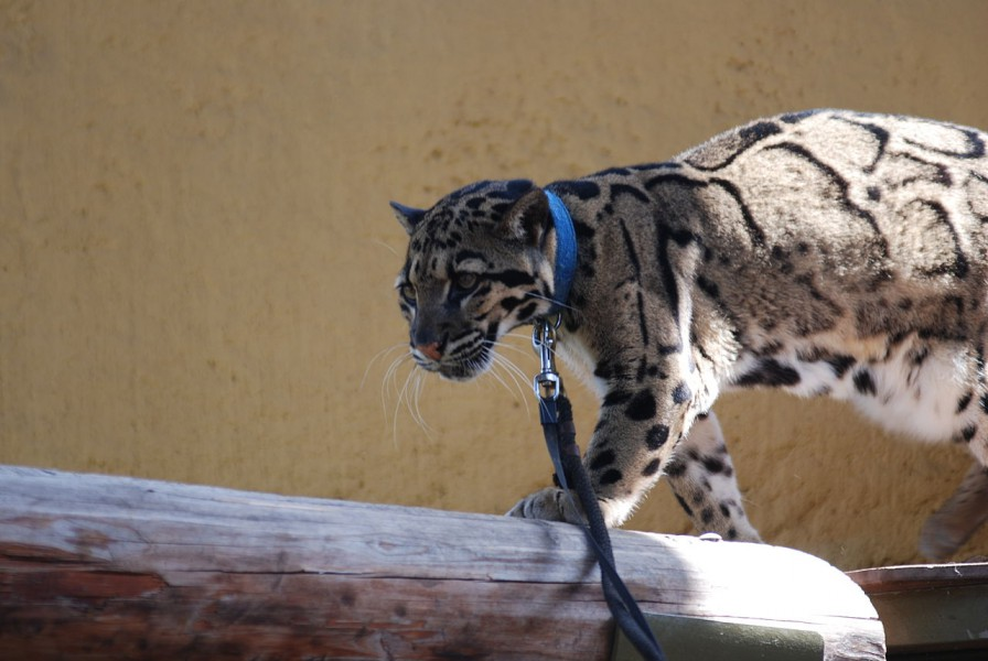 Clouded leopards are being increasingly sold as exotic pets for recreational purposes. Photo from Wikimedia Commons.