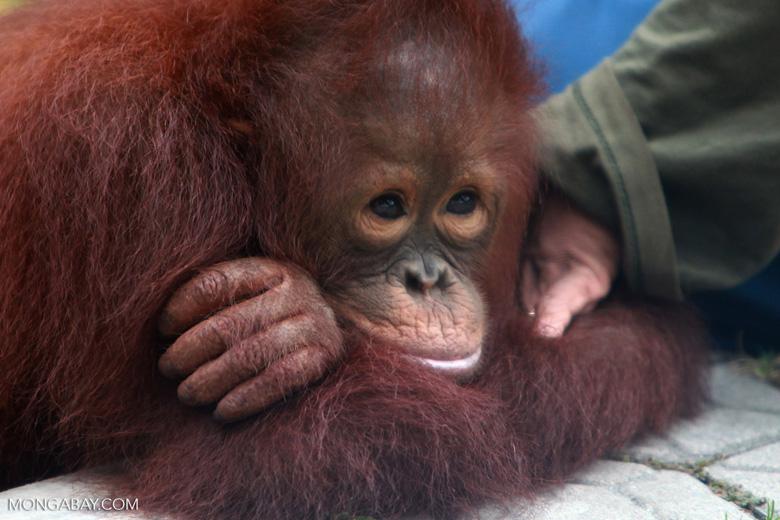 An orphaned baby orangutan in Kalimantan. Photo by Rhett A. Butler