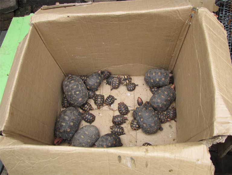 Confiscated Red-footed tortoise (Chelonoidis carbonaria). Most traded animals die before they can be sold to customers; most of those confiscated never return to the wild. Photo by Juliana M Ferreira