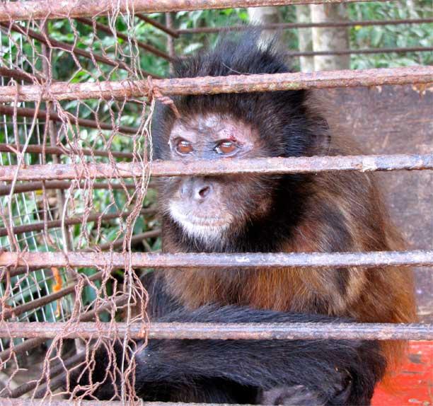 Seized capuchin monkey (genus Sapajus); monkeys are a popular pet in Brazil. Photo by Juliana M Ferreira