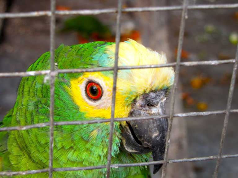 Blue fronted amazon (Amazona aestiva), a popular pet species. Every year, poachers take some 38 million animals from natural habitats in Brazil to supply the illegal wildlife trade. The business brings in $2 billion a year. Photo by Juliana M Ferreira
