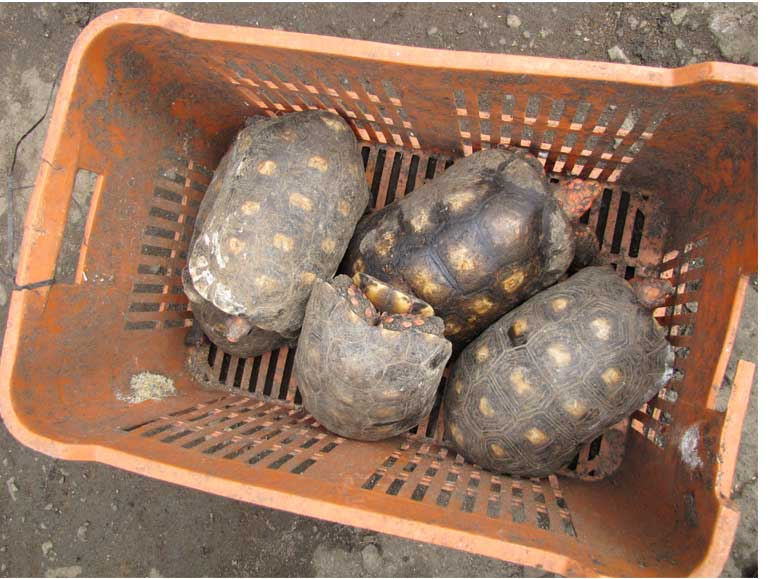 Red-footed tortoise (Chelonoidis carbonaria) confiscated at a house that served as a secret deposit place for trafficked wildlife at Vila Mara, São Paulo. Photo by Juliana M Ferreira