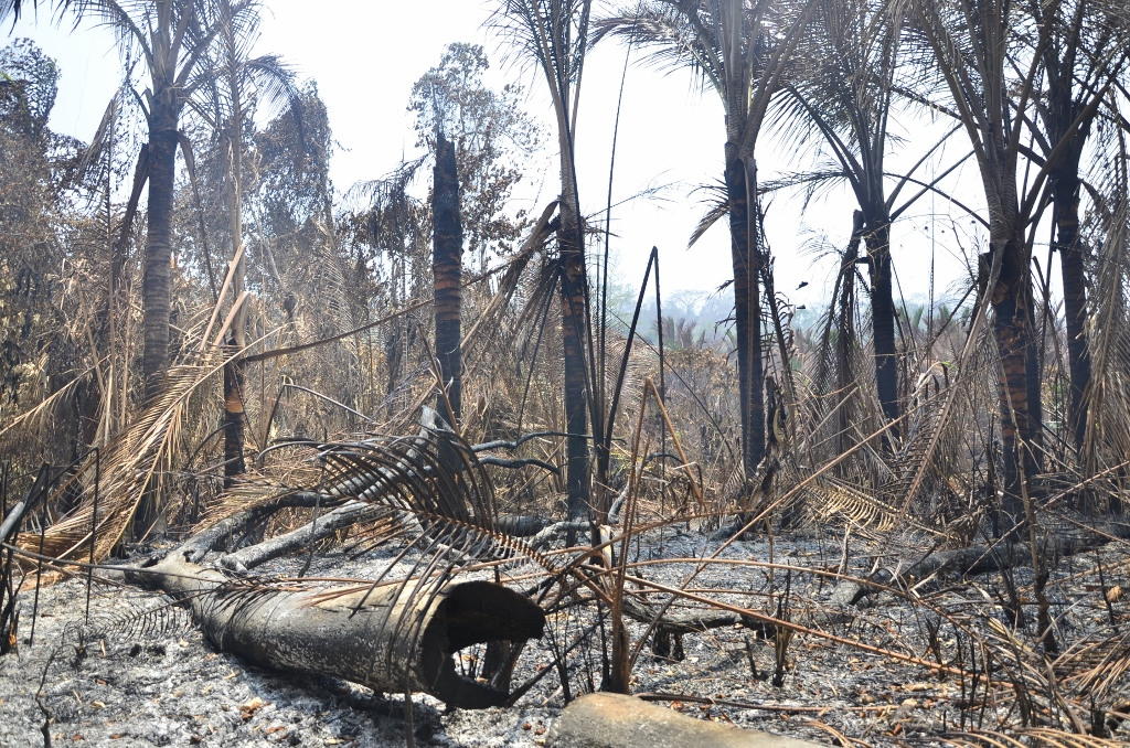 A burned-out sago palm grove in the Raja Empat archipelago in West Papua. Photo by Wahyu Chandra