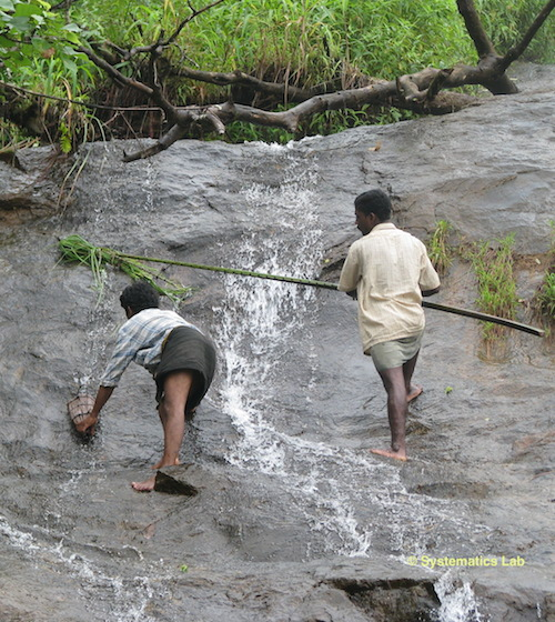 Community members climb slippery rocks to collect purple frog tadpoles from fast-flowing streams  in July. Photo courtesy of Systematics Lab.