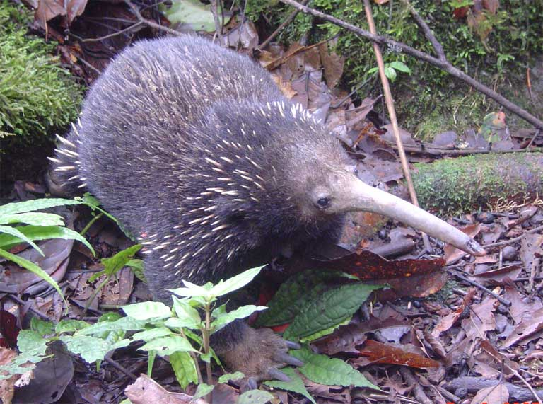 Mammalogists often use ear tags to identify individuals in their research. But Echidnas do not have external ears to attach a tag. Opiang used color-coded plastic tubing, glued to spines to identify individuals (visible on the right forelimb).  Quiet, rare, nocturnal, hard-to-tag and found in remotest parts of New Guinea, field study of echidnas presents tremendous challenges. Photo by Muse Opiang