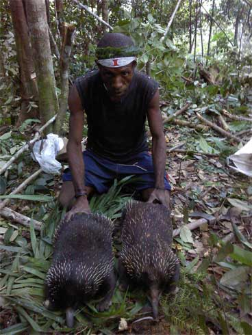 Two echidnas killed by an indigenous hunter. Hunting represents the greatest threat to these and many other species in New Guinea where millions of people still live directly off the resources of their traditional forests. Photo by Andrew Mack.