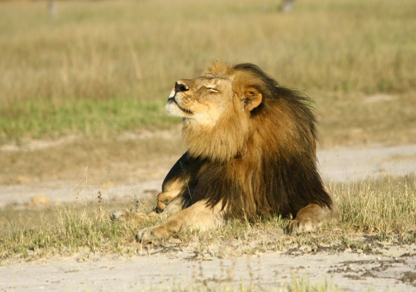 Cecil the lion has become a powerful symbol for the plight of African lions since he was killed by a hunter in July 2015. Photo courtesy of Andrew J. Loveridge (University of Oxford, Oxford).