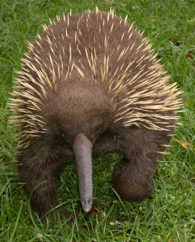 The beak of the Long-beaked Echidna has electro-receptors that are thought to help the animals detect prey, mostly earthworms, when they probe into the soft mud of the rainforest floor. Photo by Larry Barnes