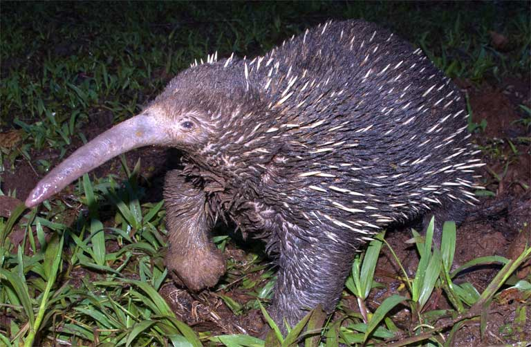 Echidnas have strong legs, well adapted for digging. They dig their claws into the soil and push it aside, making it almost appear as if they are sinking straight down into the earth. They sometimes vanish below ground for more than 24 hours, though no one knows with what purpose. Photo by Muse Opiang.