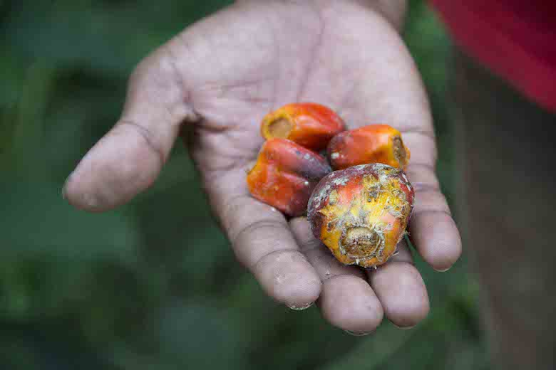A tribal farmer shows the palm oil fruit in a plantation in central Palawan, Philippines. Oil is produced by pressing the fruit. Photo by Rod Harbinson.