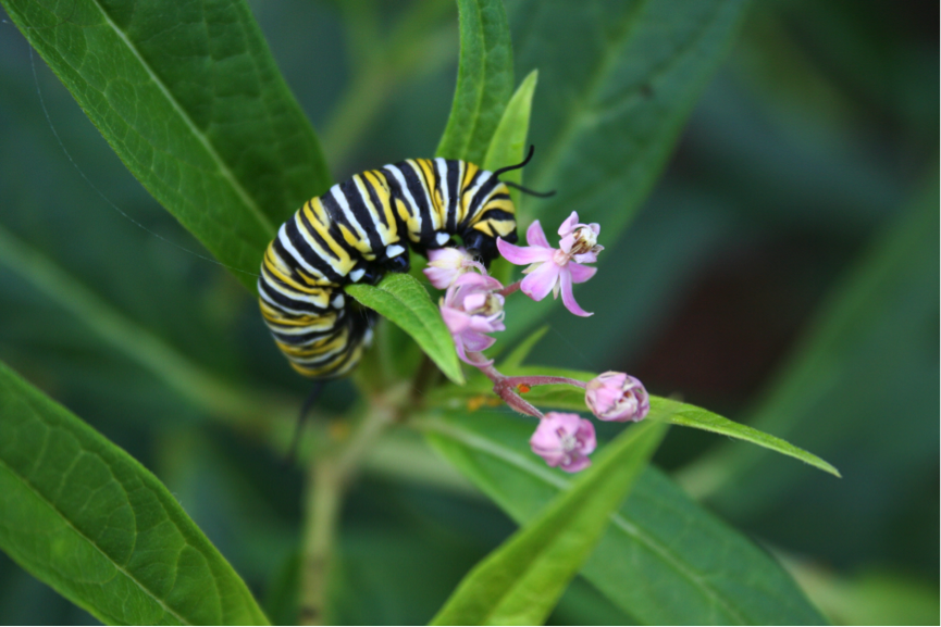 Monarch caterpillar eating tropical milkweed in Savannah, GA in January 2014. Monarchs that skip the migration to breed during the winter on exotic milkweeds are 5 times more likely to get sick with OE compared to migratory monarchs. Photo credit: Dara Satterfield.