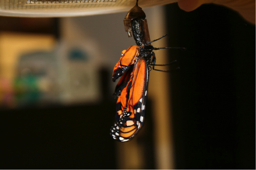 Monarchs heavily infected with OE sometimes get stuck in their chrysalis and die. Photo credit: Sonia Altizer.