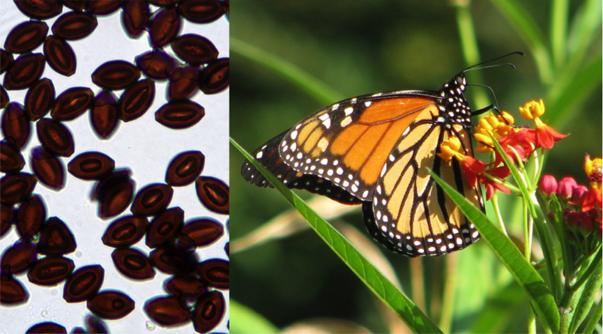 Monarchs infected with Ophryocystis elektroscirrha (OE) often do not fly as well or live as long as healthy monarchs. Photo credit: Sonia Altizer.