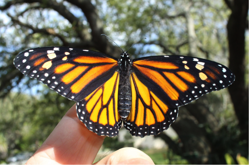 The 2012 film 'The Flight of the Butterflies' documented the year-long annual migration cycle of the Monarch Butterfly. But now, scientists believe that fewer numbers are actually taking this epic journey. Photo credit: Dave Hart.