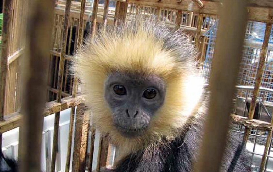 Juvenile syntype of the Golden-crowned langur (Presbytis johnaspinalli). Courtesy of Nardelli 2015.