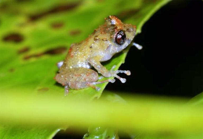 Pristimantis cruciocularis. Photo by Ariadne Angulo.