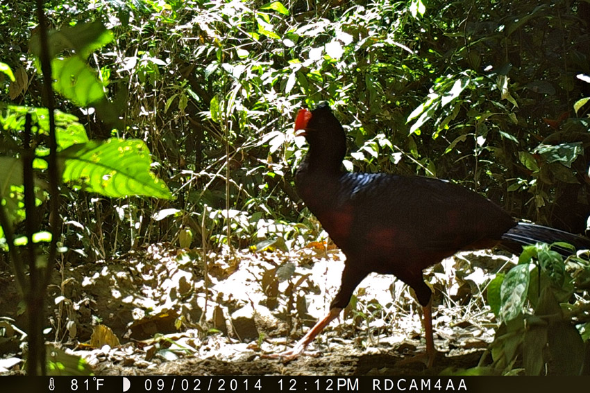 "A razor-billed curassow (Mitu tuberosum) is caught on camera walking an active logging road only meters from Hoja Nueva."" Photo by Samantha Zwicker."