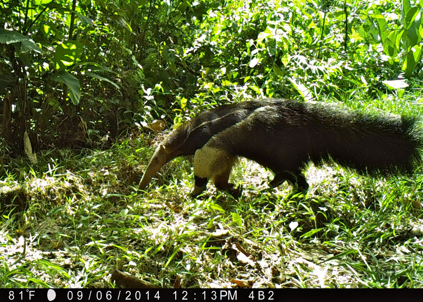 A majestic giant anteater (Myrmecophaga tridactyla) is caught on camera crossing an old logging road. The species is now listed as vulnerable by the IUCN, and is most threatened by hunting and road construction in Peru. Photo by Samantha Zwicker.