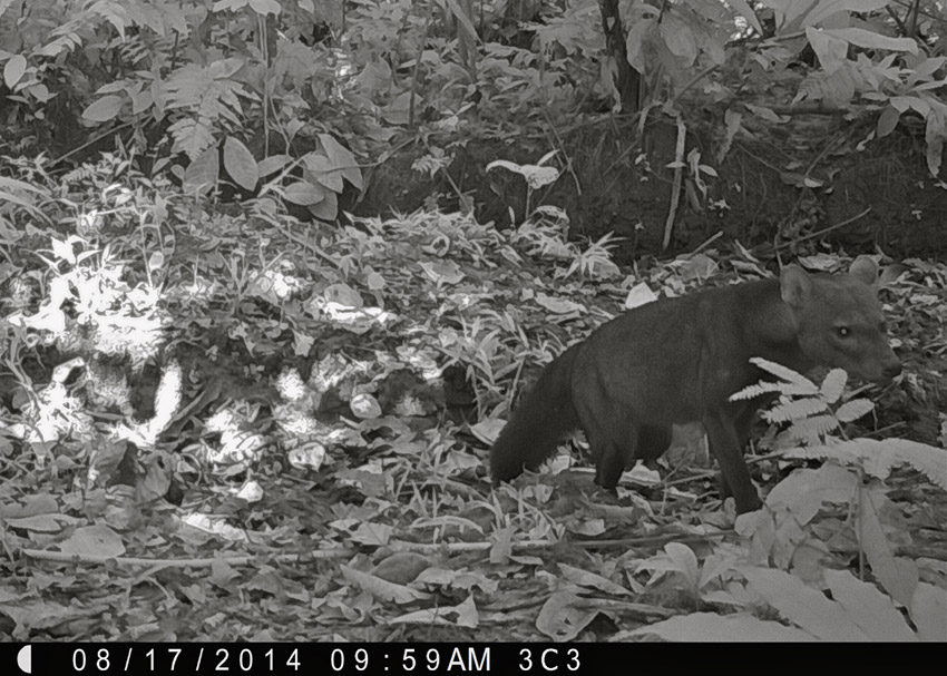 Although rare and elusive, a short-eared dog (Atelocynus microtis) is caught on camera crossing an old logging road. Now classified as near-threatened by the IUCN, the biggest threat to short-eared dogs is habitat loss due to the large-scale conversion of rainforest to agriculture. Photo by Samantha Zwicker.
