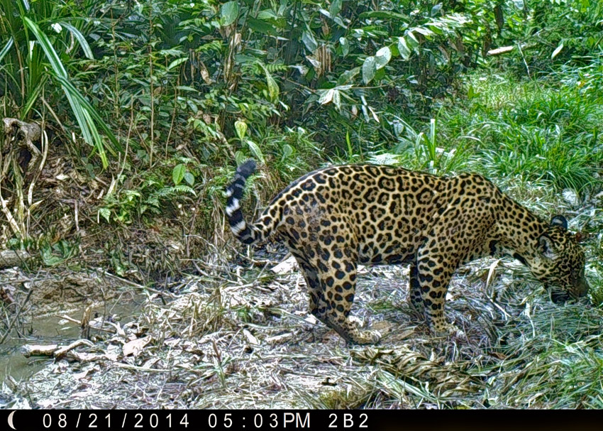 A female jaguar (Panthera onca) pauses on the trail to eat some grass. Just like domestic cats, big cats eat small amounts of grass to help them bring up fur-balls. Deforestation and hunting remain the two major threats to jaguars across their range, causing them to become listed as near-threatened (IUCN). Photo by Samantha Zwicker.