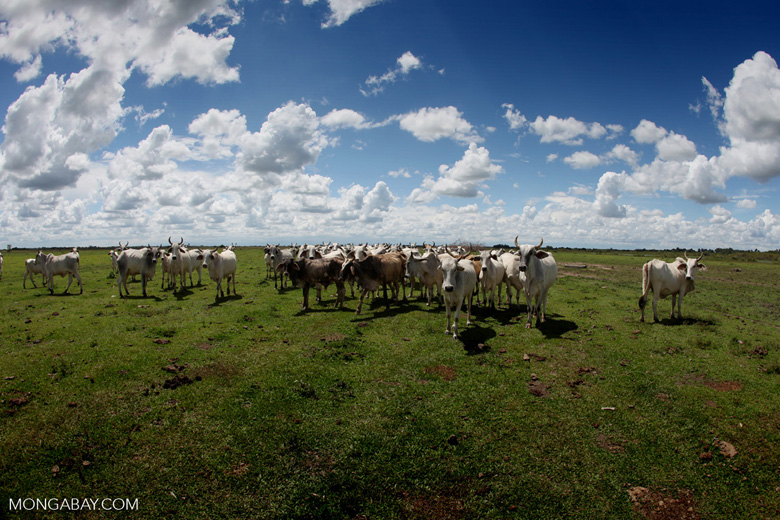 Colombian cattle ranch. Conservationists are working to implement sustainable grazing techniques across the Amazon. Photo by Rhett Butler