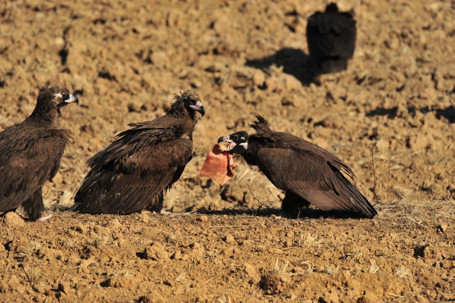 Cinereous vultures have super powerful digestive and immune systems that help them eat decaying carcasses without falling ill. Photo by Woon Kee Paek.