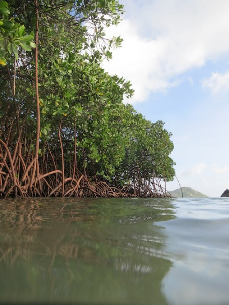 "Mangrove trees have special exposed roots called ""knees"" that allow them to live in the saturated, oxygen-poor soil. Photo by Ruth Reef."